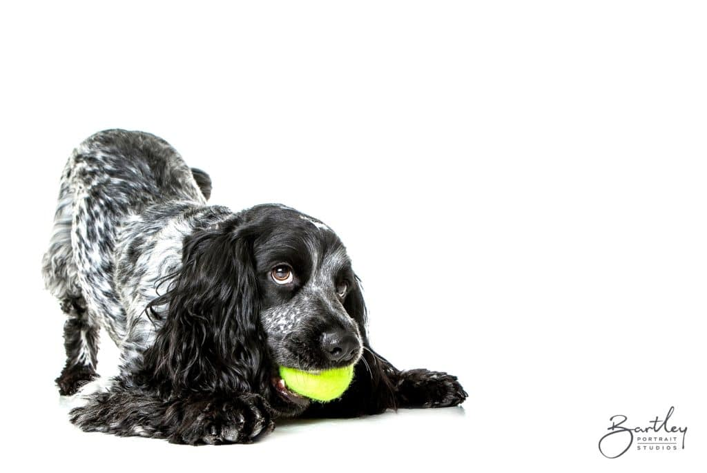 Cocker Spaniel with tenis ball