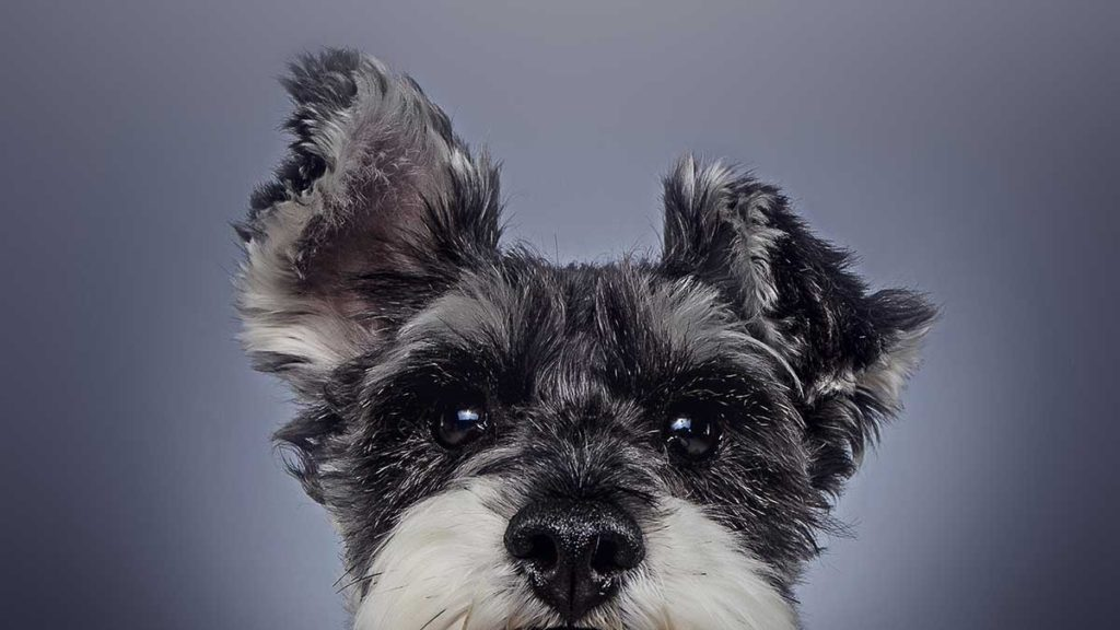 schnauzer dog ears close up head shot studio portrait cute fluffy
