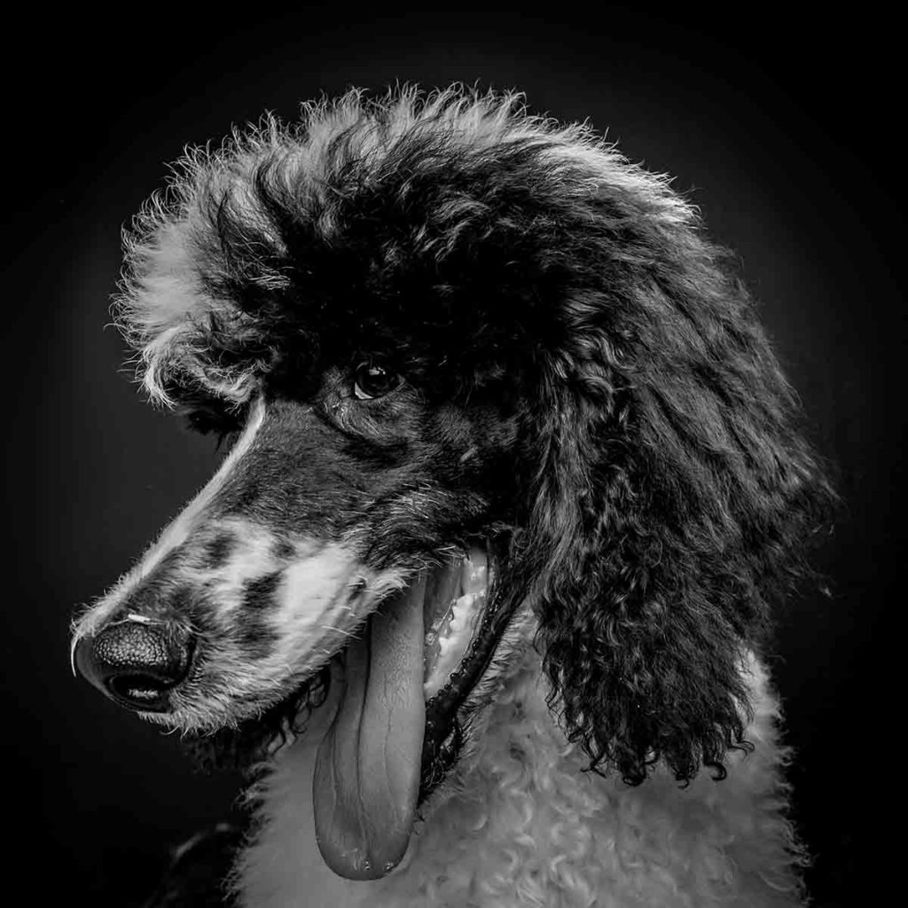 poodle studio portrait black and white dog photo shoot
