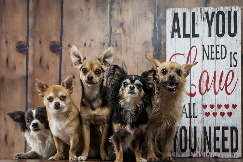 group of five chihuahuas cute miniture dogs studio photo shoot love quote