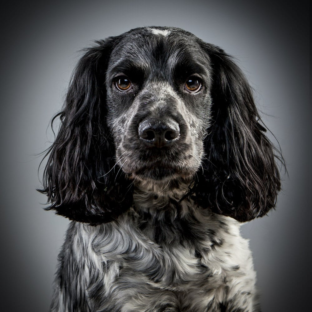 Cocker Spaniel studio portrait