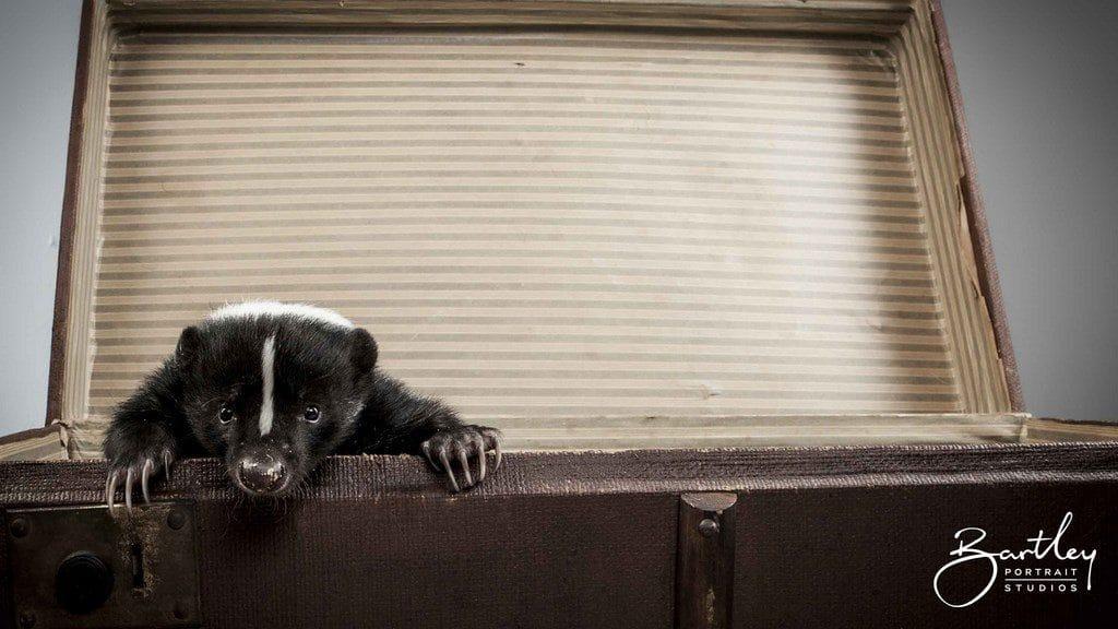 skunk portrait taken in studio in warrington