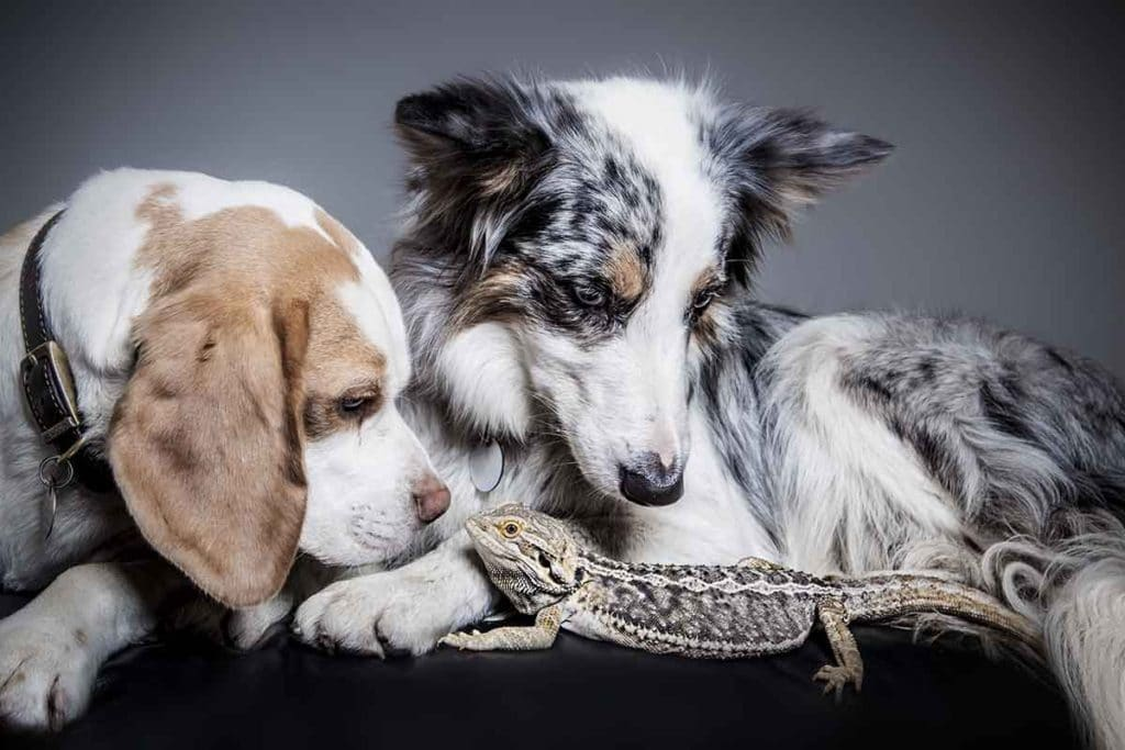 two dogs and lizard studio photo shoot sheepdog pets animals
