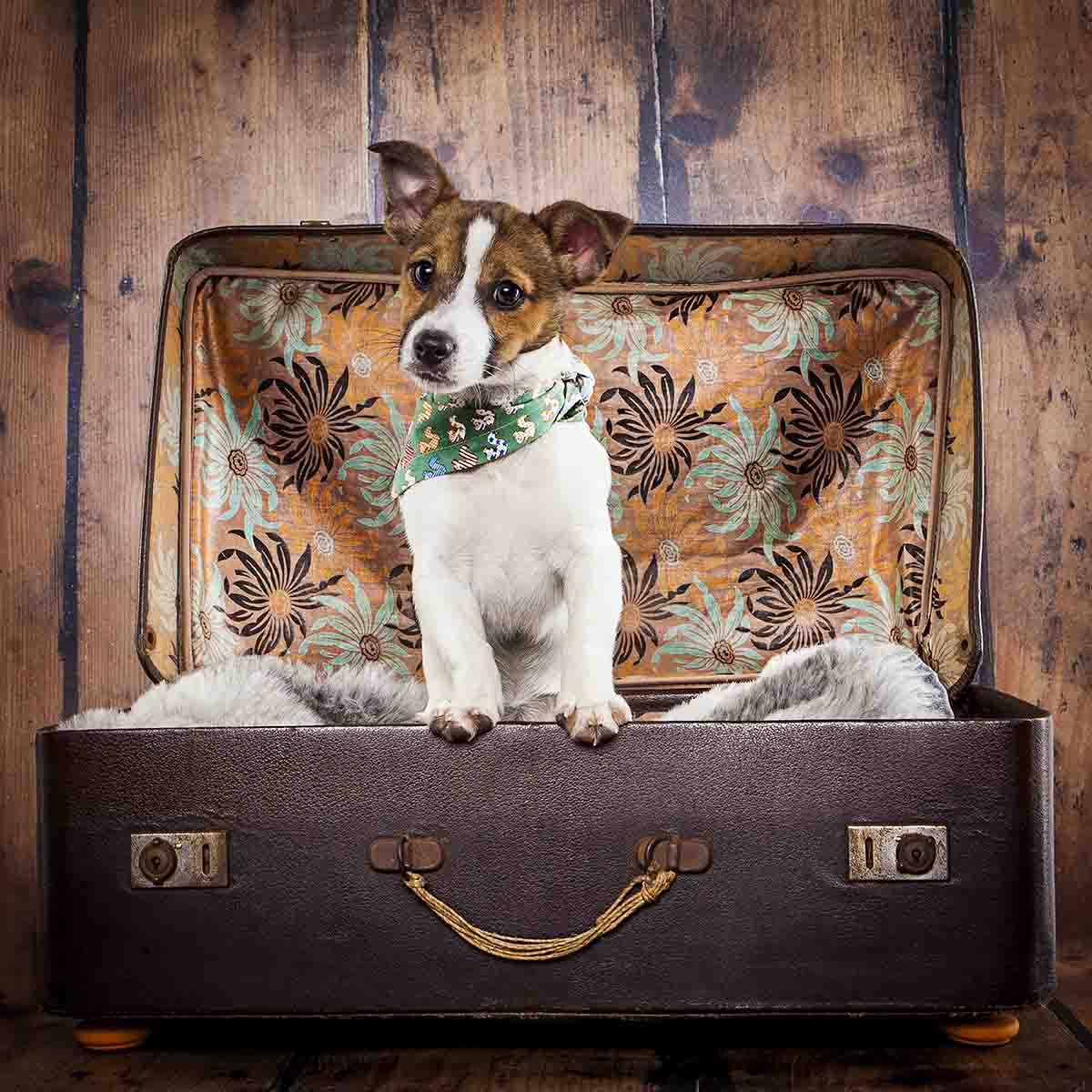 dog in suitcase wearing bandana studio shoot jack russell small