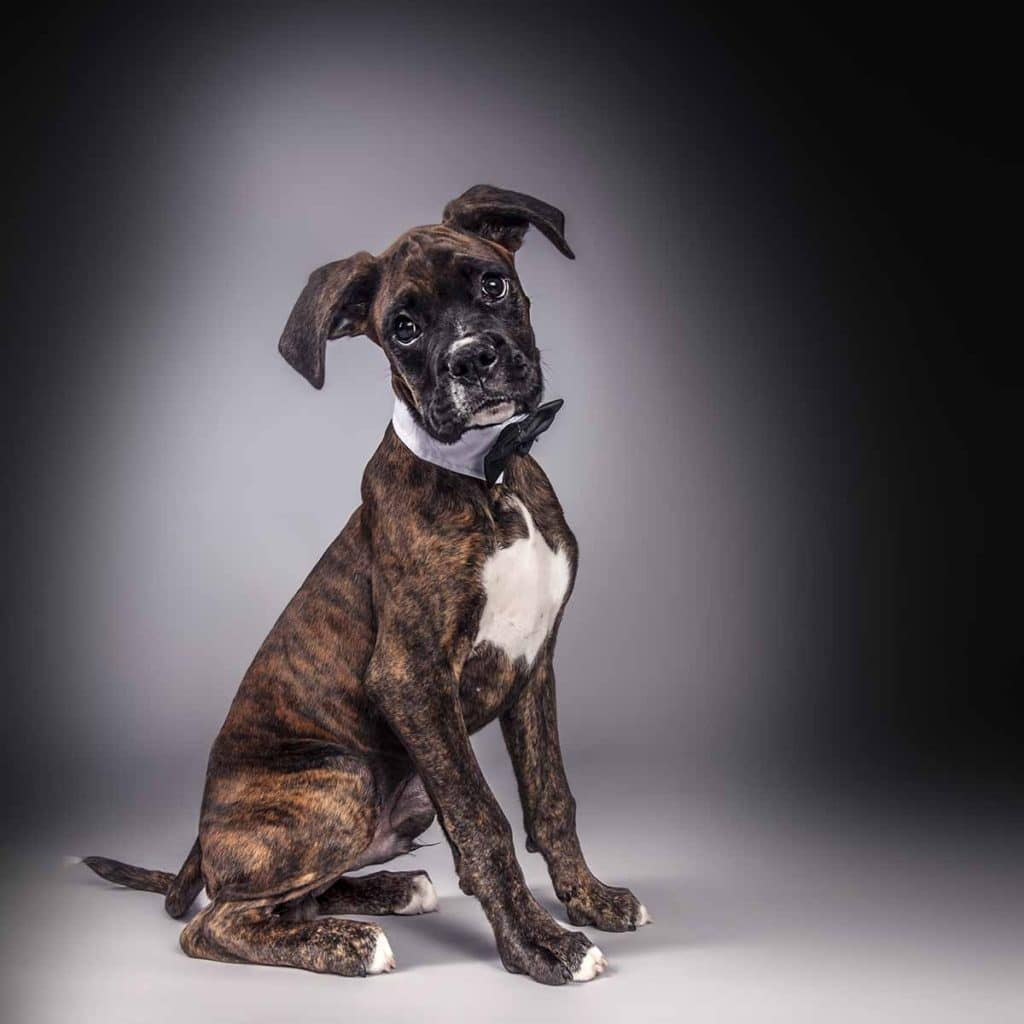 boxer dog in bow tie handsome smart studio portrait