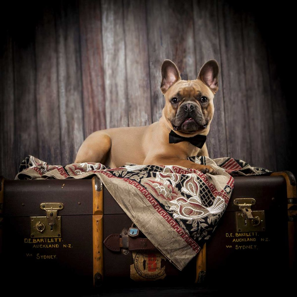 french bulldog in bow tie suitcase blanket colour photography studio shoot