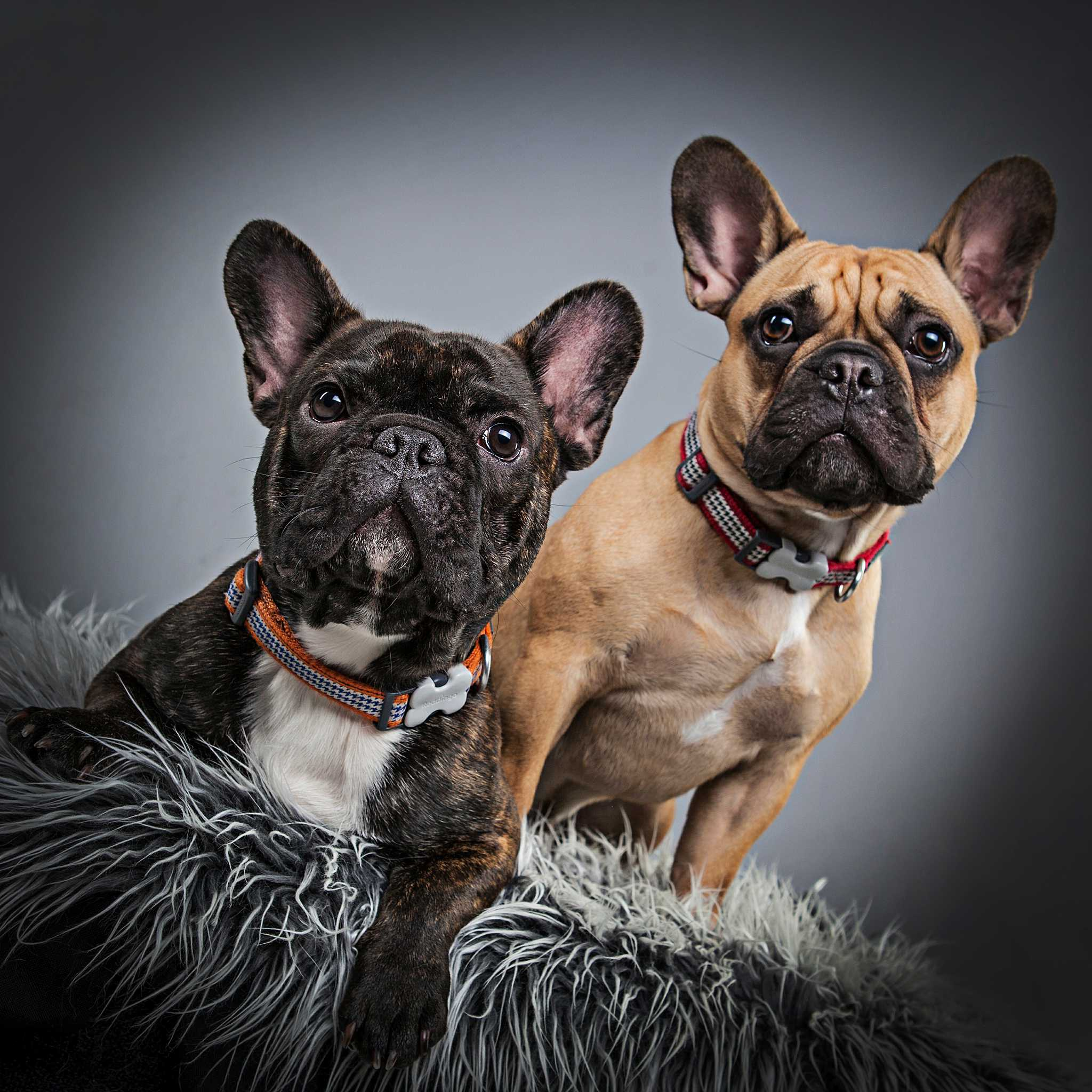 Its a frenchie frenzy! - Bartley Studios
